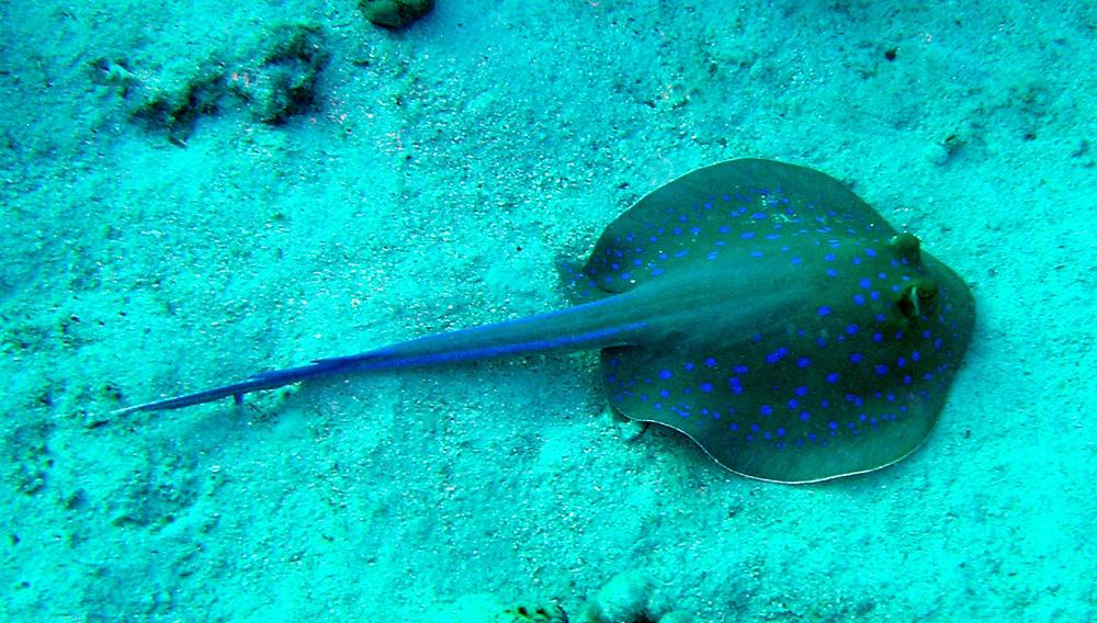Bluespotted Blue Spotted Blue Spotted Common Fish Shark Tropical Coral
